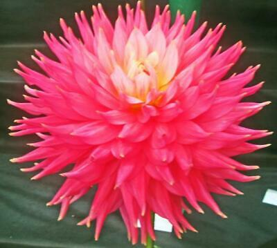 Dahlia Plants...3 X Coral Jupiter...Giant Semi Cactus...Rooted Cuttings • 7.50£