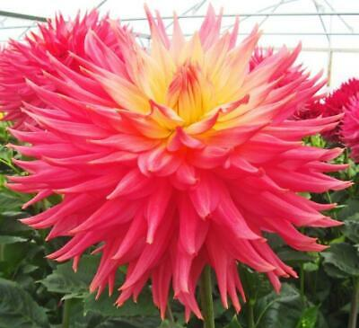 Dahlia Plants...3 X Rose Jupiter...Giant Semi Cactus...Rooted Cuttings • 11.50£