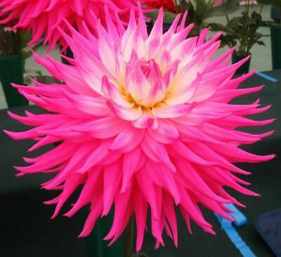 Dahlia Plants...3 X Pink Jupiter...Giant Semi Cactus...Rooted Cuttings • 10.50£