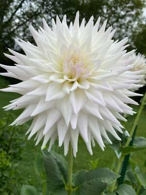 Dahlia Plants...3 X Clearview Edie...Large Semi Cactus...Rooted Cuttings • 0.99£