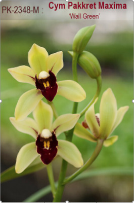 AU10 • Buy Cymbidium Orchid Pakkret Maxima 'Wall Green' 68mm