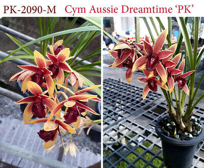 AU10 • Buy Cymbidium Orchid Aussie Dreamtime 'PK' 68mm