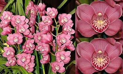 AU40 • Buy Cymbidium Valley Inga Linda - High Quality Pink Intermediate 2 Spikes