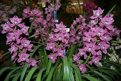 AU58 • Buy Cymbidium Orchid Strathdon Cooksbridge Fantasy Unusual And Rare 4 Flower Spikes