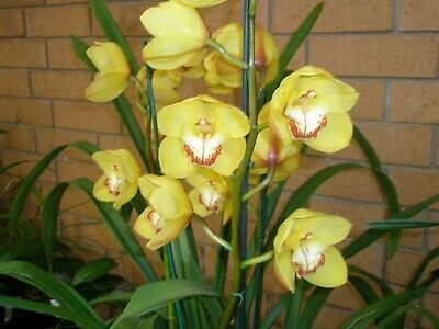 AU40 • Buy Cymbidium Orchid Marilyn Thomas 5043 Fabulous New Yellow Showbench 2 Spikes