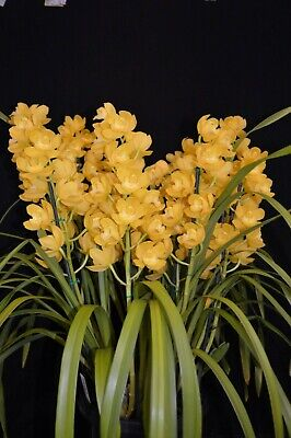AU39 • Buy Cymbidium Orchid Pharaoh's Dream Dural - Bright Yellow Int Champion 2 Spikes