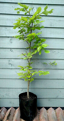 £17.99 • Buy Fagus Sylvatica Beech Hedge Plant Tree 100cm (1m) 7 Year Established In 5 Litre