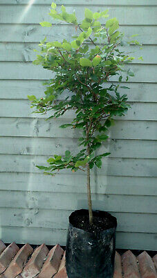 £19.99 • Buy Fagus Sylvatica Beech Hedge Plant Tree 110cm 7 Year Established In 15 Litre