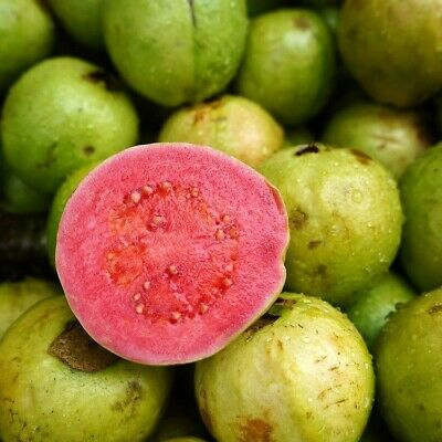 £9 • Buy Colombian Red Guava Fruit Tree Seedling Healthy Tropical Seedling