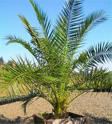 £109.99 • Buy Large Hardy Phoenix Canariensis Date Palm 180-210cm Tall Garden Outdoor
