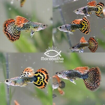 $15.99 • Buy 3 Live Assorted Red Fire Dragon Male Guppies Fish USA Bred