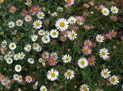 £21.90 • Buy  Mexican Daisy Trailing Perennial  Year-round Blooms 3 Plants In 9cm Pots