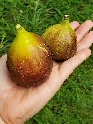 $25 • Buy LARGE FIG 'Magnolia' Starter Tree  9  Tall SC Grown Delicious Sweet