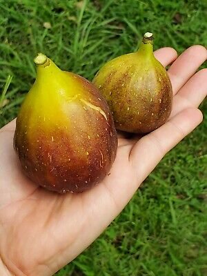 $45 • Buy 2 Starter Trees 9  Tall LARGE FIG 'Magnolia' SC Grown Delicious Sweet