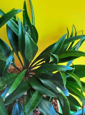 AU29 • Buy SANSEVIERIA Socotra - Spoon Leaf Monther-in-laws Tongue - Unusual Sansevieria