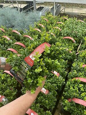£9.99 • Buy Buxus Hedging 6 Pack