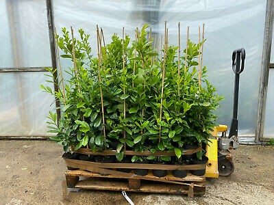£205 • Buy Pallet Of 50 2-3ft Tall Cherry Laurel Hedging Trees - No Reserve Clearance