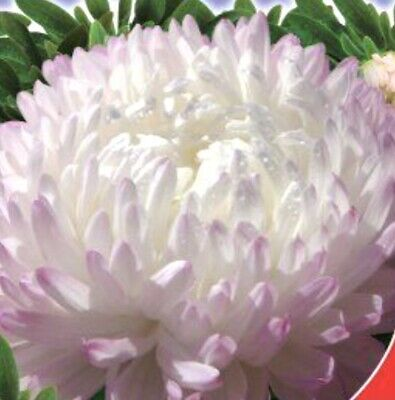 £1.80 • Buy 150 X ASTER Silver Pink  Peony Seeds. NON GMO