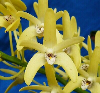 AU40 • Buy THG Orchid DENDROBIUM Speciosum V Curv 'Baby Kable' IN BLOOM Sep201