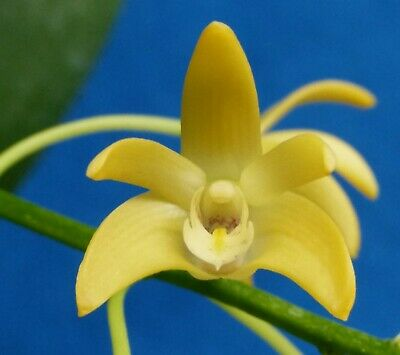 AU30 • Buy THG Orchid DENDROBIUM Coolart Gold Div IN BLOOM Sep203