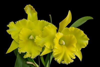 AU27.50 • Buy Orchid Cattleya Ports Of Paradise 'Green Ching Hua' AM/AOS