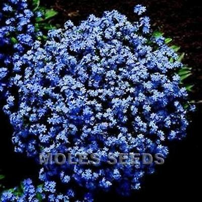 £1.39 • Buy Forget Me Not Blue Spring Flowers Ap 200 Seed For Cottage Border Easy To Grow