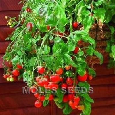 TOMATO RED TUMBLING TOM TRAILING HANGING BASKET TOMATO 10 To 100 Seed MULTIPLE   • 2.05£