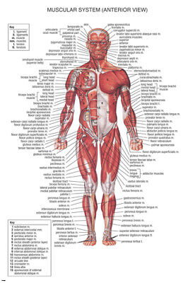 $5.99 • Buy Muscular System MEDICAL EDUCATIONAL POSTER 24X36 Scientific BODY Detailed - YY1