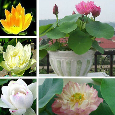 $ CDN1.30 • Buy 10Pcs Lotus Nymphaea Asian Water Lily Pad Flower Pond Seeds Potted Flowers MACA