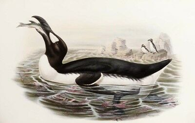 £26 • Buy JOHN GOULD  Great Auk, Alca Impennis  CANVAS ART ! Choose Your SIZE, From 55cm
