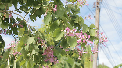 AU3.90 • Buy Purple Orchid Tree (Bauhinia Purpurea Variegata)  5 Fresh Seeds