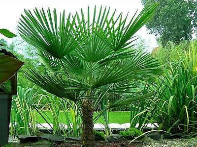 £13.68 • Buy Hardy Chinese Windmill Palm Tree Tropical Garden Outdoor Evergreen
