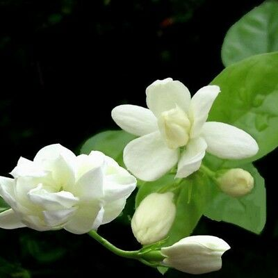 $1.38 • Buy 100 Fragrant Jasmine Seeds Gardenia Perennial Flower Petals Blooming Bonsai Seed