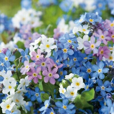 £1.45 • Buy Forget Me Not Victoria Mix Flowers Ap 500 Seed For Cottage Border Easy To Grow