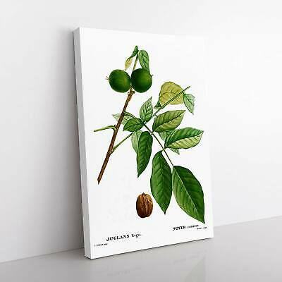 English Walnut Tree Flowers Pierre-Joseph Redoute Framed Canvas Print Wall Art • 22.95£