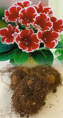 £99.99 • Buy 3 Gloxinia (sinningia) Kaiser Friedrich Red/white Bulbs/corms Indoor Plant