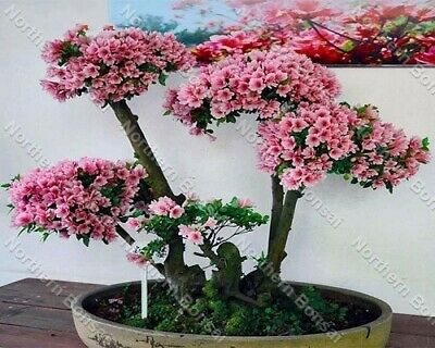 10 Bonsai Japanese Azalea Bonsai Tree Seeds Uk Stock Rare Bonsai Seeds Azalea • 1.99£