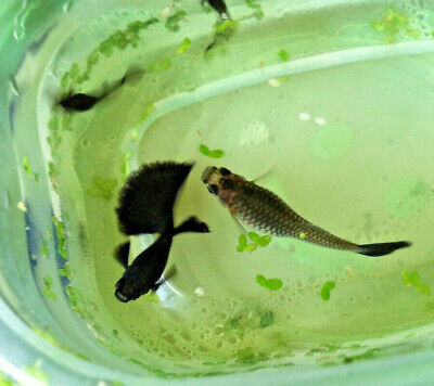 $40 • Buy 5 Juvenile Dark Blue Moscow Guppies Live Fish 2 MALES + 3 FEMALES