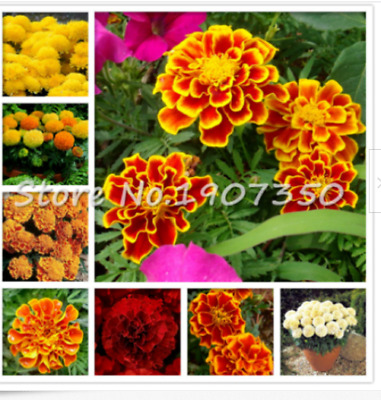 Mix 100 Seeds African Marigold French Marigold Herbs Tagetes Erecta Flower • 3.95£