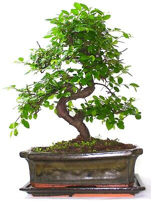 Chinese Elm Bonsai Tree - Choose Your Size And Options • 34.99£