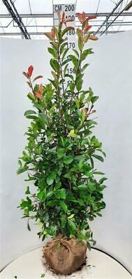 Red Robin Hedging Plants | Photina Fraseri, Red Laurel - Rootball & Potted • 7£
