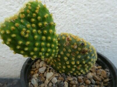 OPUNTIA MICRODASYS V. PALLIDA CEISTATE Shown  In 9cm Pot, Lovely, Healthy Cactus • 4.20£