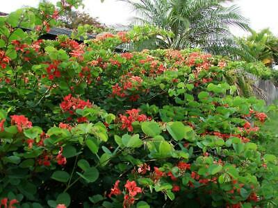 AU4 • Buy Red Orchid Tree (Bauhinia Galpinii)  10 Fresh Seeds