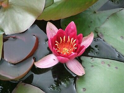 Beautiful Red Nymphaea Water Lily For Small - Medium Aquatic Garden Or Ponds • 6£