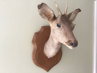 French Taxidermy 'roe' Deer Head Mounted With Antlers • 80£