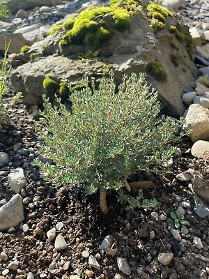 £1.85 • Buy Thyme Seeds - Qty 450 - Premium Quality Herb Seeds