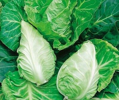 £1.99 • Buy Cabbage Greyhound Seeds X 500 - Vegetable - Traditional Early Compact Variety