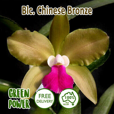 AU24 • Buy Cattleya Blc Chinese Bronze Orchid Seedling Vibrant Magenta Express Post 50mm