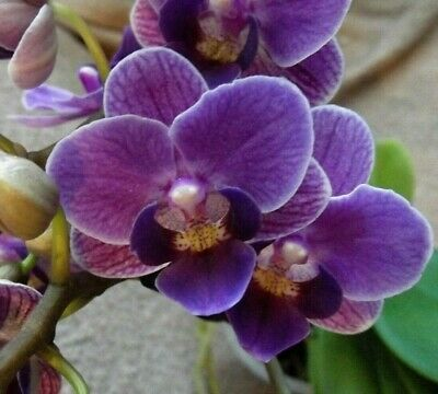 Rare Phalaenopsis `Violet Queen` Orchid Plant FS  In Bloom  2-3 Spikes • 22.99£