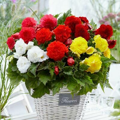 Bolly Bulbs® Begonia Corms All Types Available, Double/Upright/Trailing • 12£